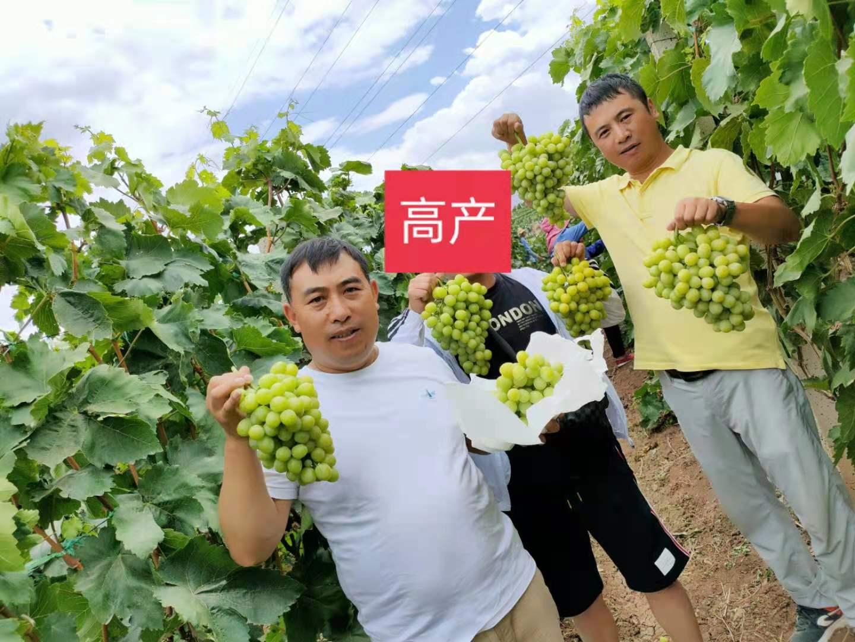 中草药肥在葡萄上的高产
